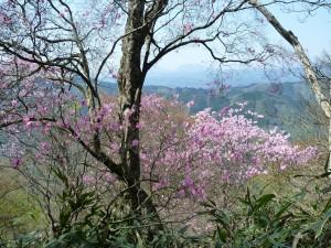 アケボノツツジと阿蘇山