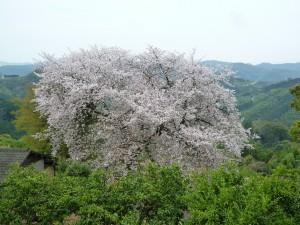 平家名残桜 1