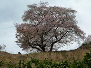 青々谷大桜 1