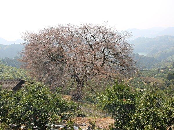 みやま市山川町  桜巡りの画像