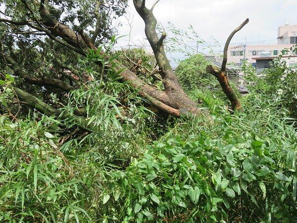 台風10号で、肉桂(シナモン)の大木が倒れました。 太洋瓦総工の画像